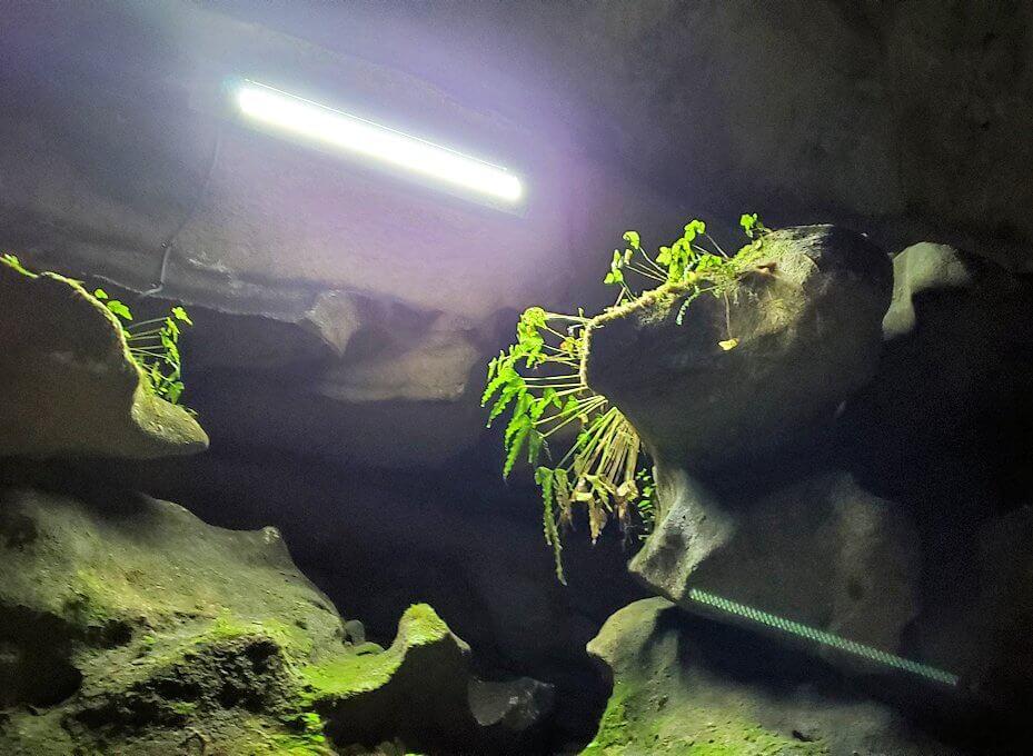 千仏鍾乳洞内で生えている苔などの植物
