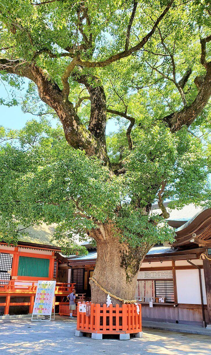 宇佐神宮の本堂境内にある大きな神木