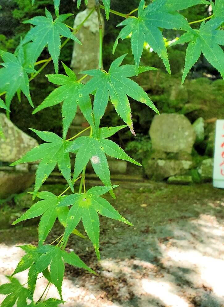 両子寺境内にある紅葉の葉