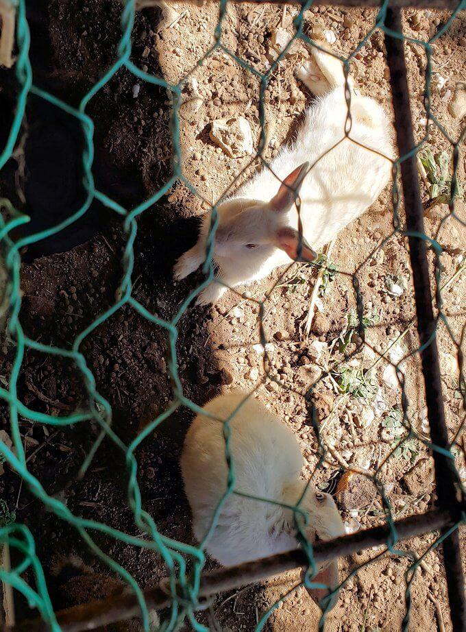 小国町にあるレストラン「風車」横で飼われているウサギ