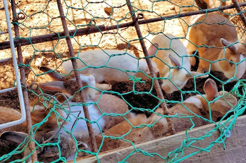 小国町にあるレストラン「風車」横で飼われているウサギに餌を与えてみる