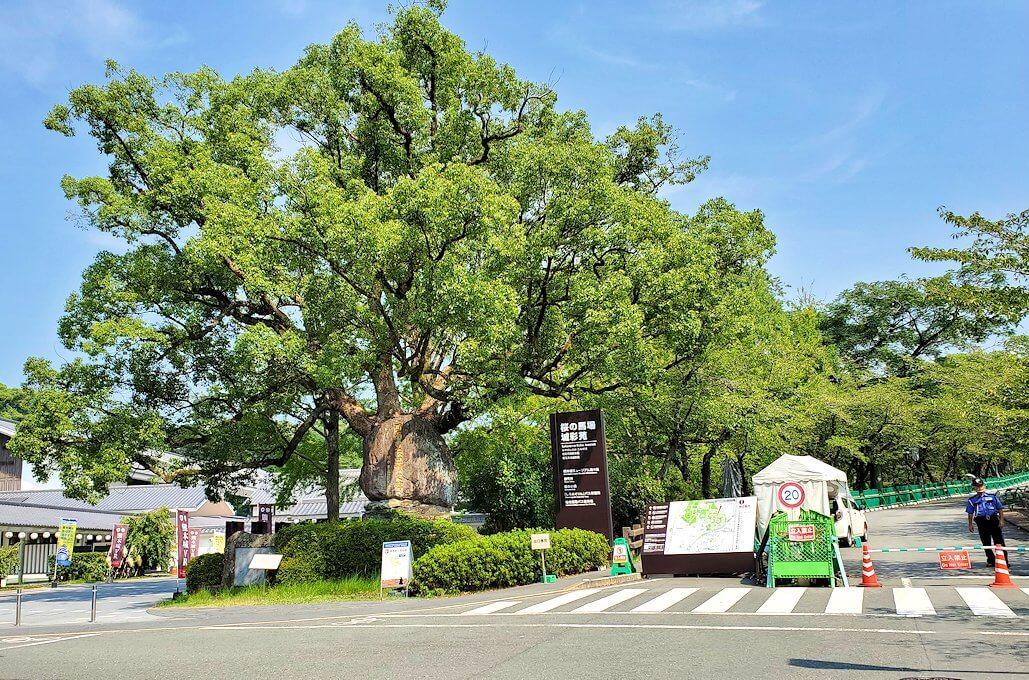 熊本城の行幸坂入口にあった大きな木