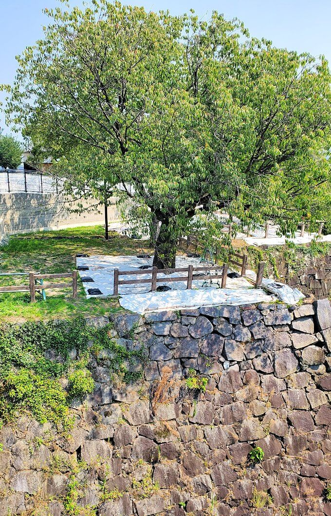 熊本城本丸の見学ルートを進むと無得る銀杏の木