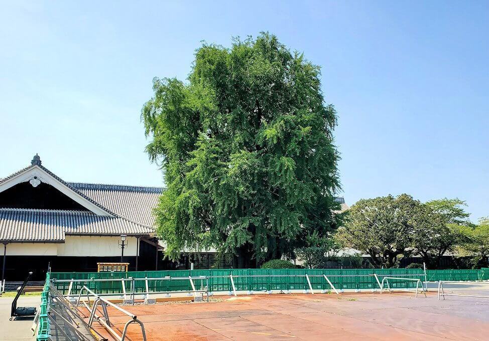 熊本城本丸内にあった銀杏の木