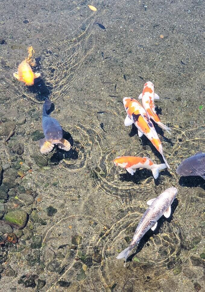 水前寺成趣園内に生息する鯉-1