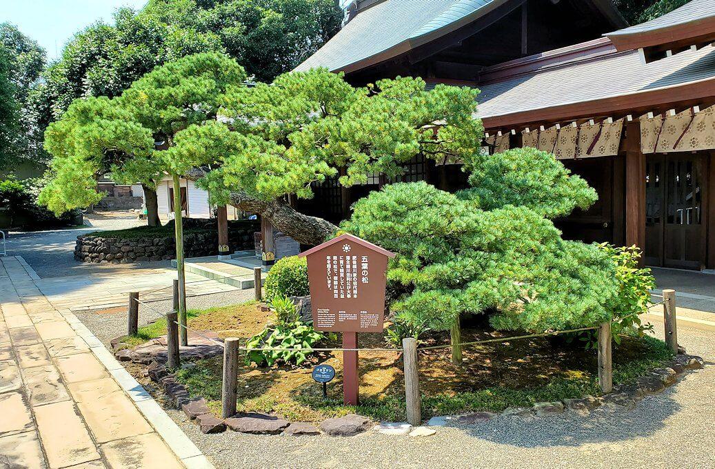 水前寺成趣園内の石橋から庭園にある出水神社の社殿横にあった松