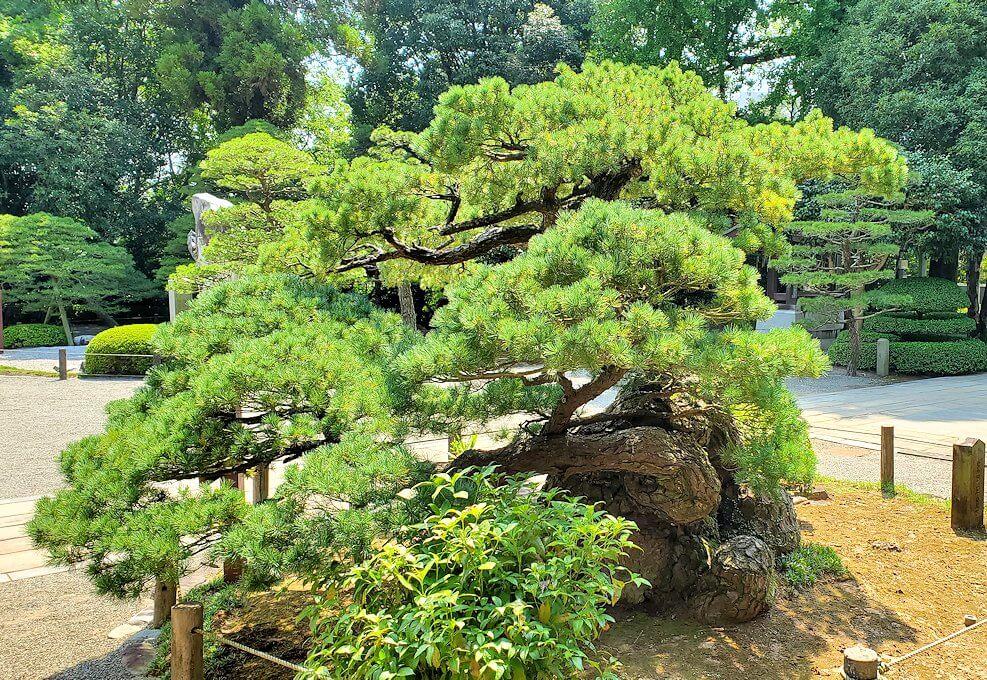 水前寺成趣園内の石橋から庭園にある出水神社の社殿横にあった松を眺める