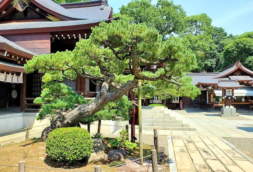 水前寺成趣園内の石橋から庭園にある出水神社の社殿横にあった松を眺める-2