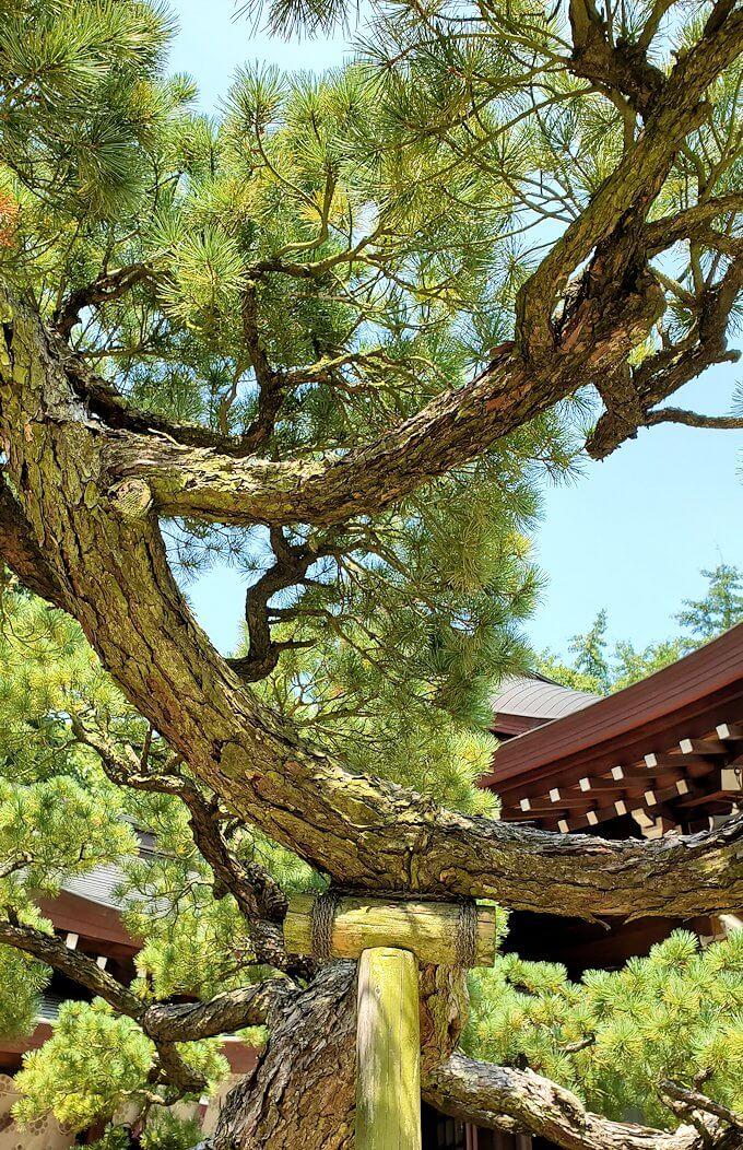 水前寺成趣園内の石橋から庭園にある出水神社の社殿横にあった松の枝を眺める