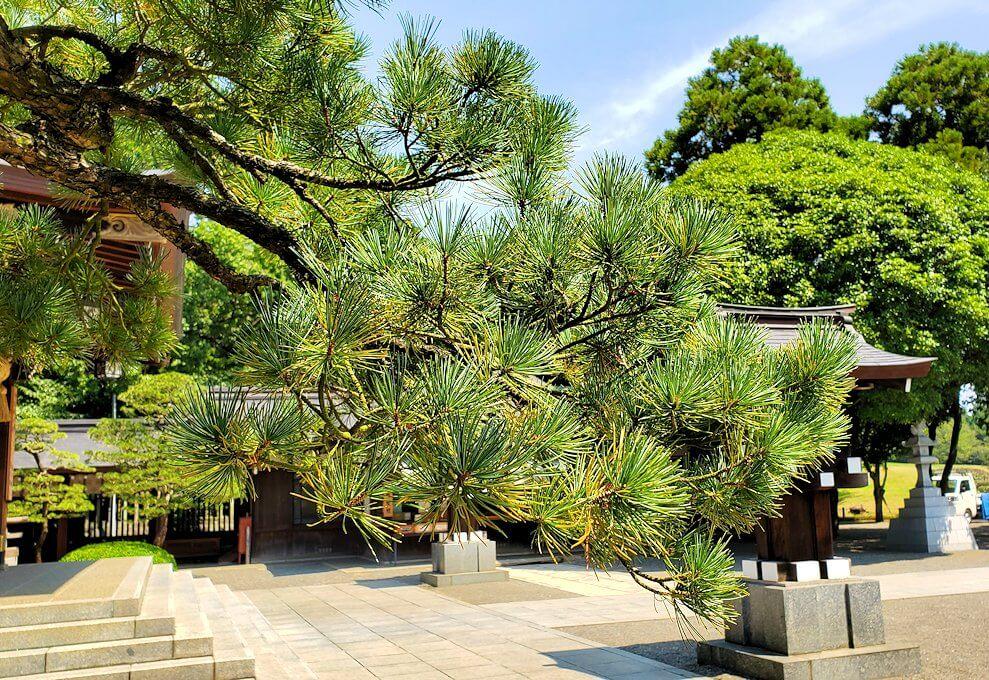 水前寺成趣園内の石橋から庭園にある出水神社の社殿横にあった松の枝を眺める-1