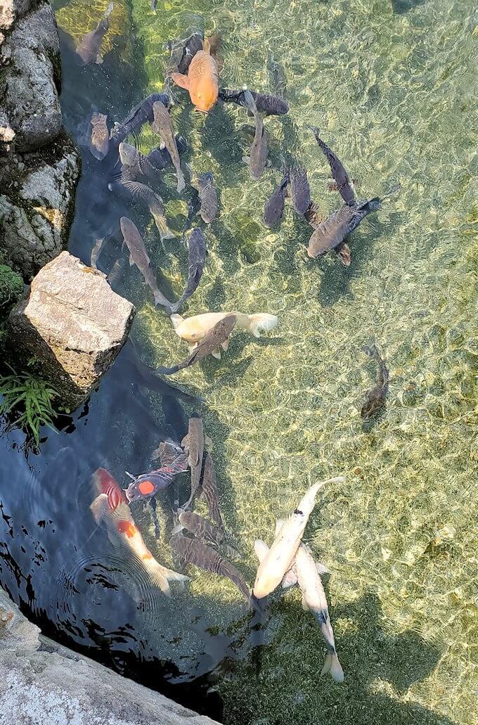 水前寺成趣園内の池で群がる鯉