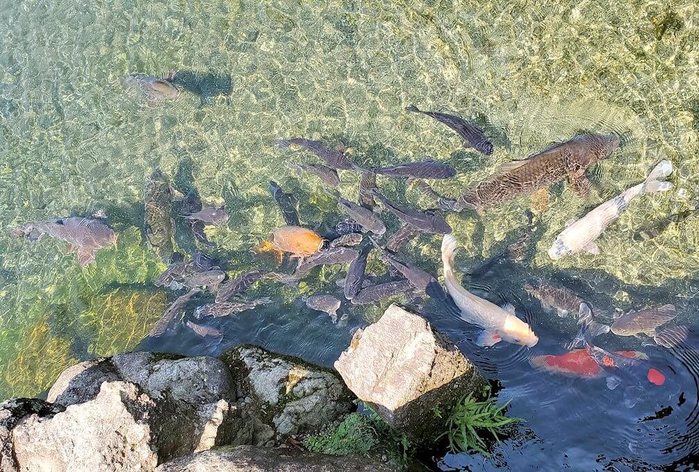 水前寺成趣園内の池で群がる鯉-1