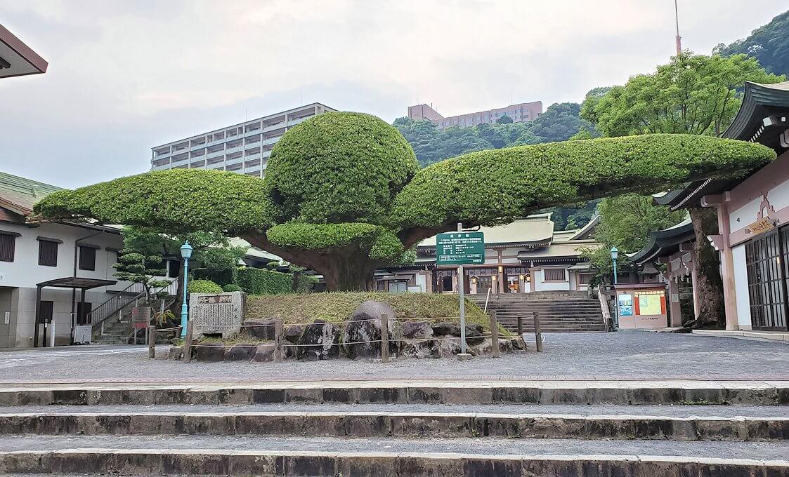 鹿児島市内の照国神社内にある、大きな松の木