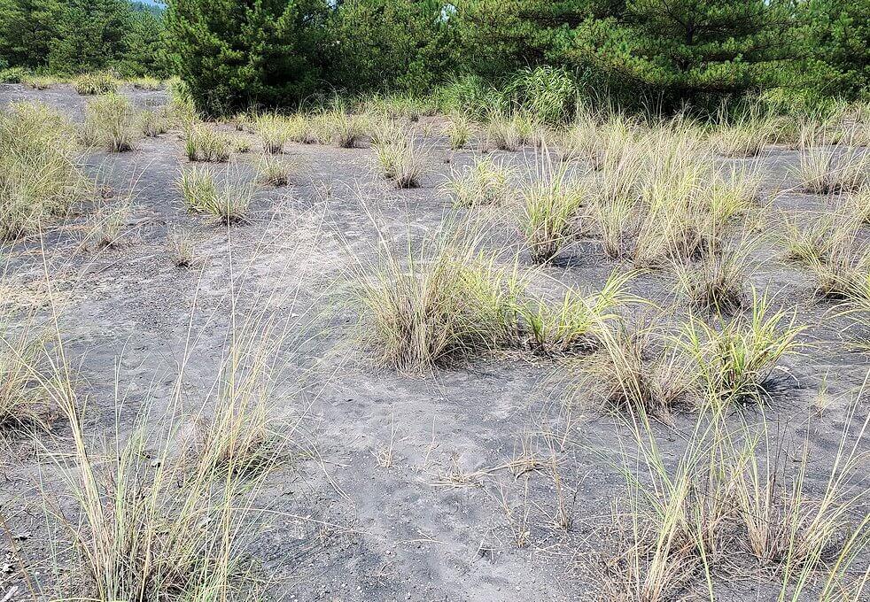 桜島26号線沿いにあった「昭和溶岩地帯」の展望台周辺の土壌