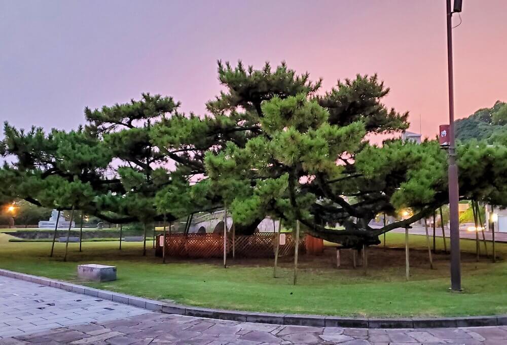 石橋記念公園にある玉江橋を渡った先にある松の木