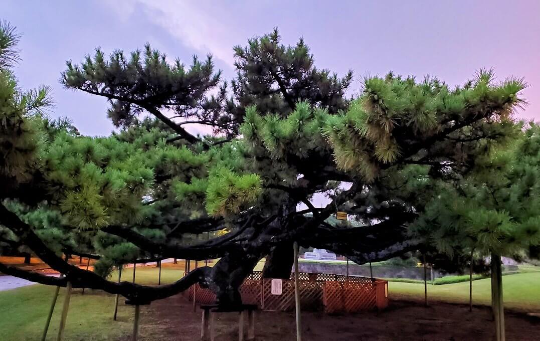 石橋記念公園にある玉江橋を渡った先にある松の木-1