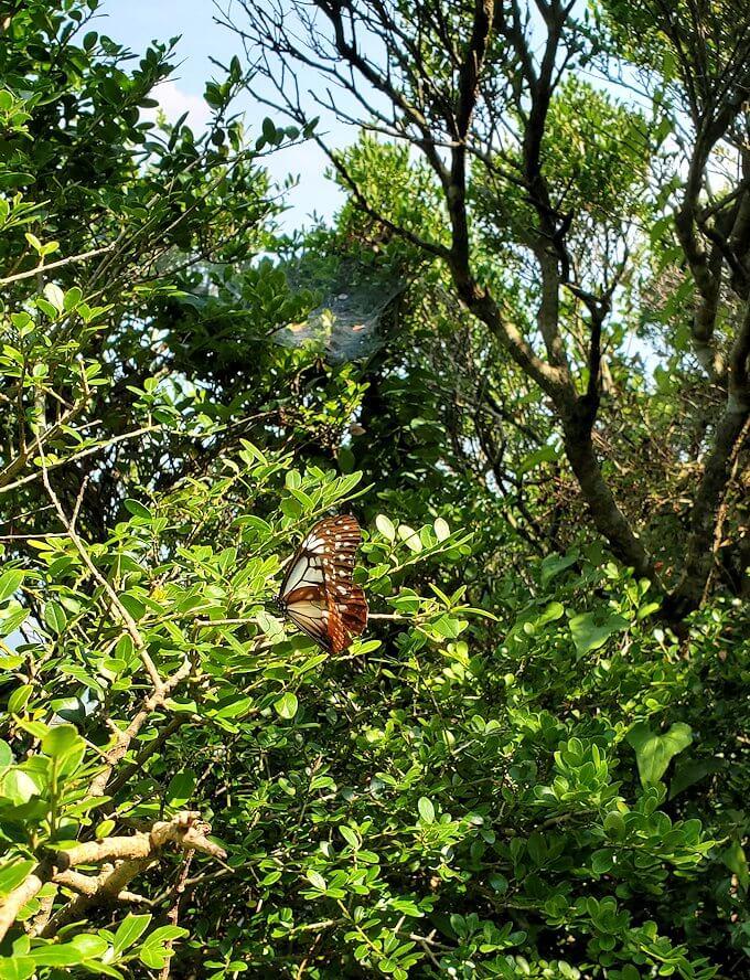 開聞岳9合目から進む途中に見えた蝶々