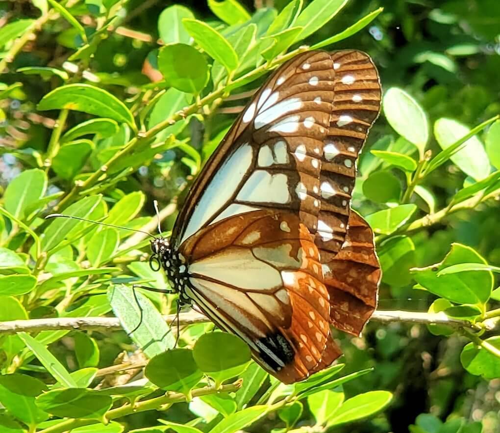 開聞岳9合目から進む途中に見えた蝶々1