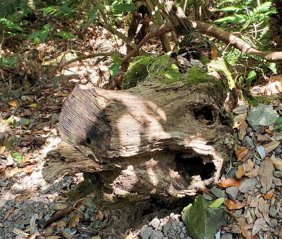 開聞岳5合目近くでみた、猪の形をした木1