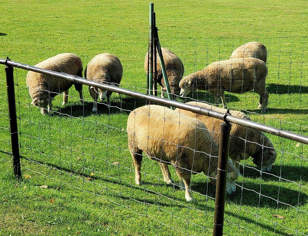 「さっぽろ羊ヶ丘展望台」の芝生に放牧されている羊1