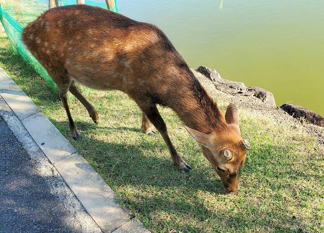 奈良公園の池付近にいた鹿