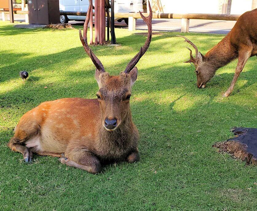 奈良公園の池付近にいた鹿を眺める1