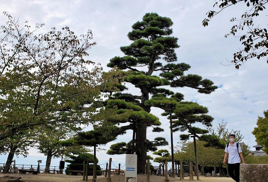 松山城本丸広場に生えている松の木