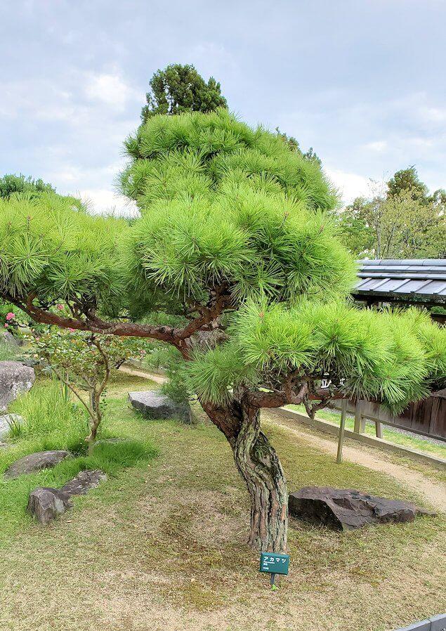 「二之丸史跡庭園」内に生える松1