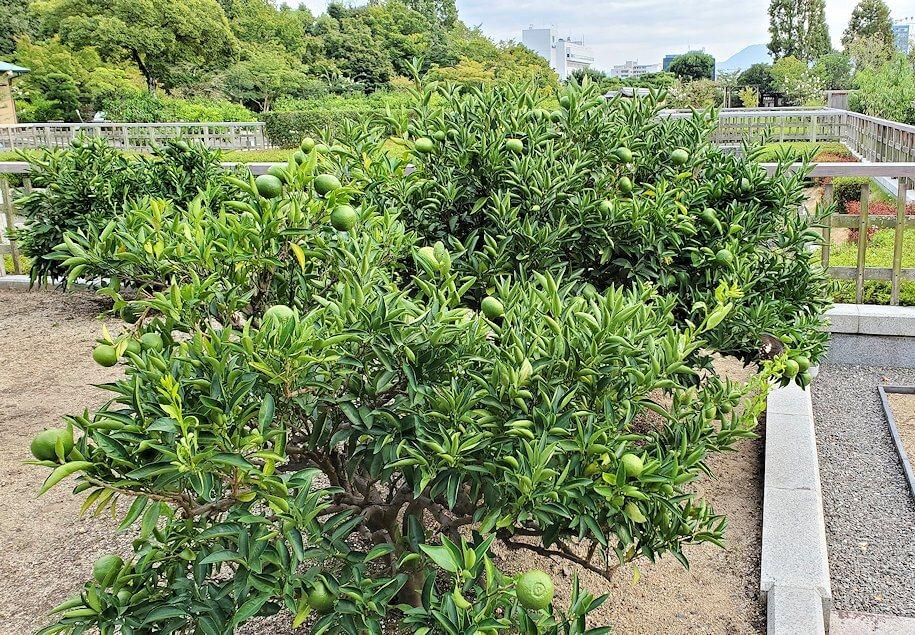 二之丸史跡庭園の柑橘類