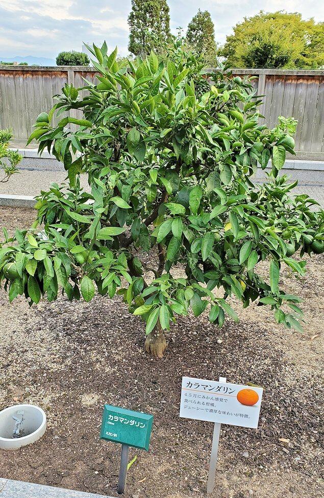 二之丸史跡庭園に植えられている柑橘類3